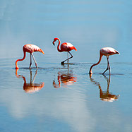pochoir flamands rose